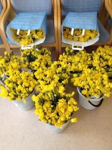 Tusentals påskliljor redo att delas ut under Påskliljekampanjen.